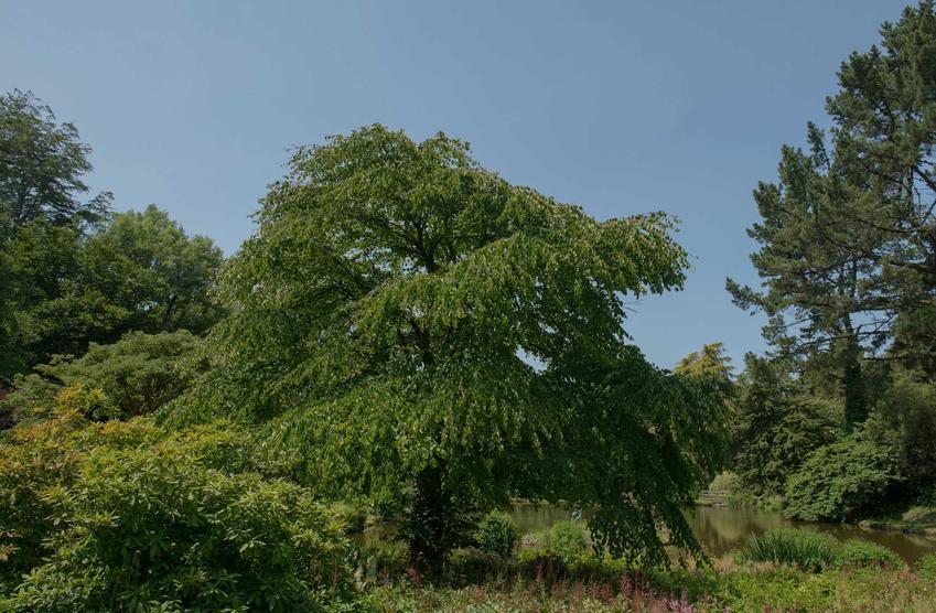Grujecznik japoński Cercidiphyllum japonicum  rosnący w dużym ogrodzie, a także pochodzenie rośliny, jej wymagania, opis i zastosowanie