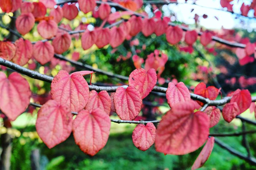 Grujecznik japoński o czerwonych liściach, a także wymagania, zastosowanie, opis, sadzenie i pielęgnacja