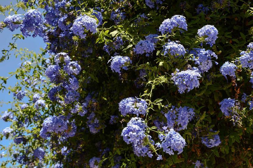 Ołownik uszkowaty w ogrodzie z wyraźnymi niebieskimi kwiatami Plumbago auriculata, a także pielęgnacja, uprawa i wymagania