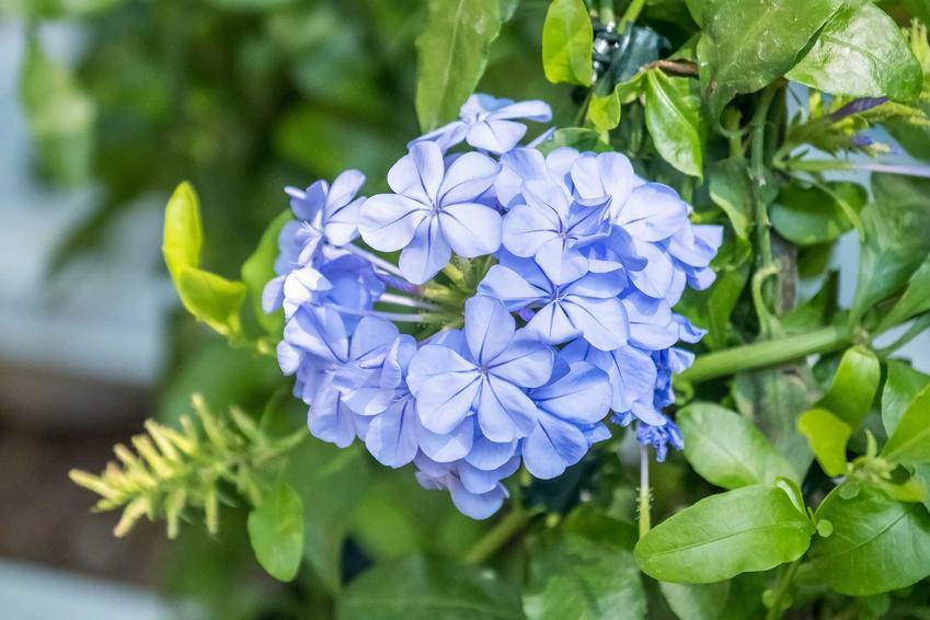 Ołownik uszkowaty o niebieskich kwiatach w ogrodzie, a także opis, wymagania, pielęgnacja i porady ogrodnicze