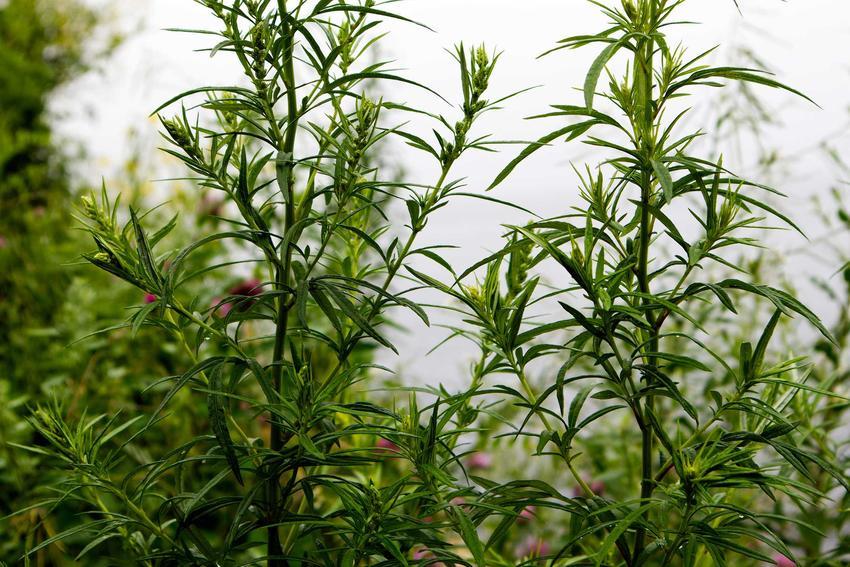 Bylica pospolita Artemisia vulgaris w ogrodzie, a także opis gatunku, zastosowanie w kuchni, właściwości lecznicze oraz uprawa