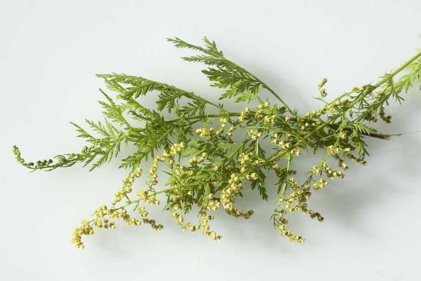 Bylica roczna leżąca na desce do krojenia w czasie kwitnienia, a także zastosowanie lecznicze, wykorzystanie, właściwości krok po kroku