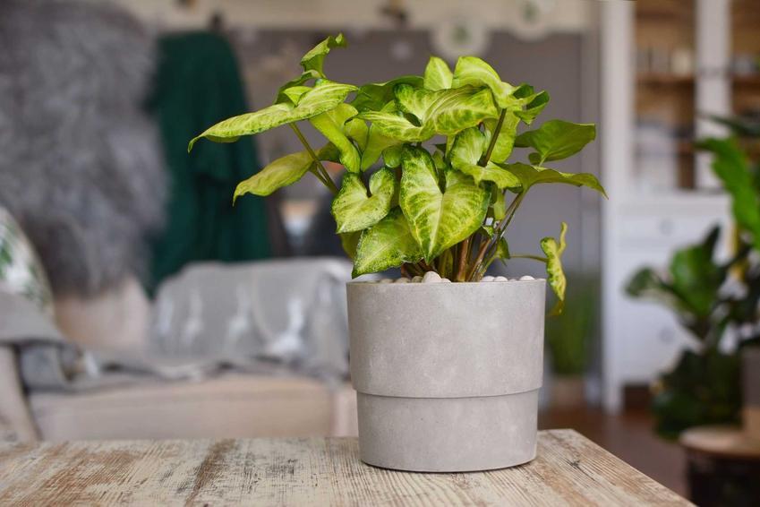 Synogium zroślicha o jasnozielonych liściach w szarej doniczce, a także pielęgnacja krok po kroku, zastosowanie, opis i wymagania siedliskowe