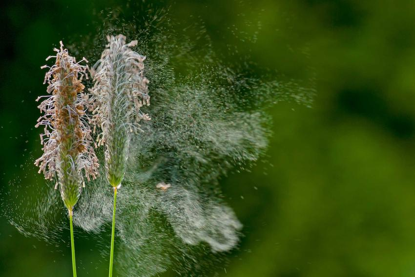 Pylące rośliny, a także najważniejsze informacje dla alergików i co aktualnie pyli w danym momencie