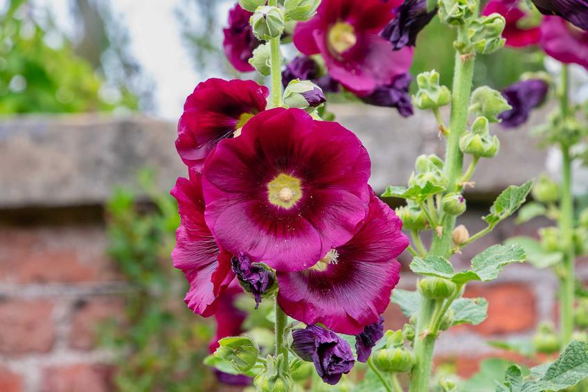 Malwa różowa o ciemnoróżowych kwiatach w ogrodzie, a także informacje o gatunku, wymagania, porady, pielęgnacja, stanowisko oraz informacje