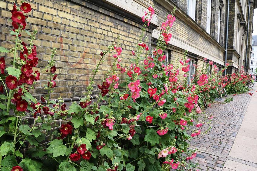 Malwy różowe przy ścianie, a także informacje o gatunku: wymagania, porady, stanowisko, pielęgnacja oraz informacje