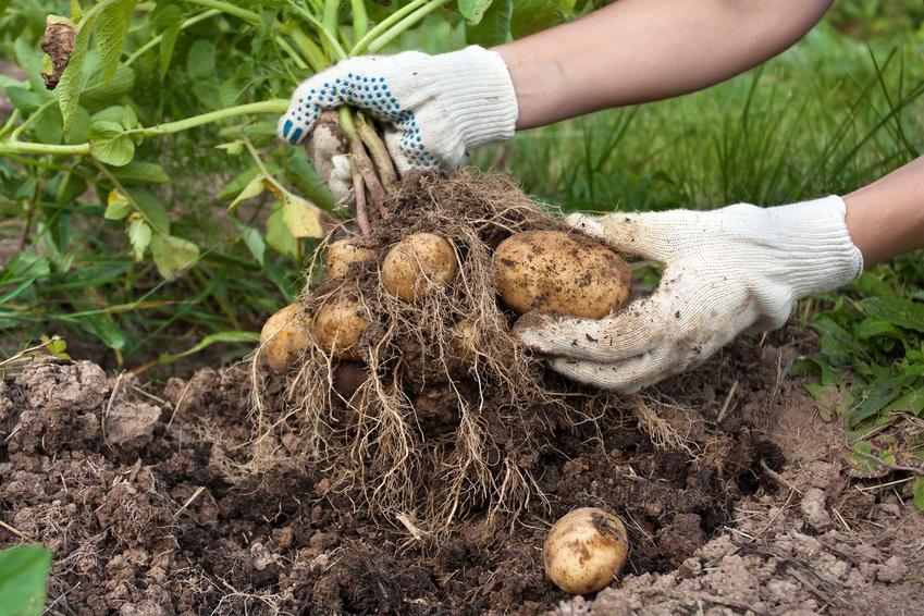 Zbiór ziemniaków Lord z ogrodu, a także informacje o odmianie - charakterystyka, wymagania i pielęgnacja krok po kroku