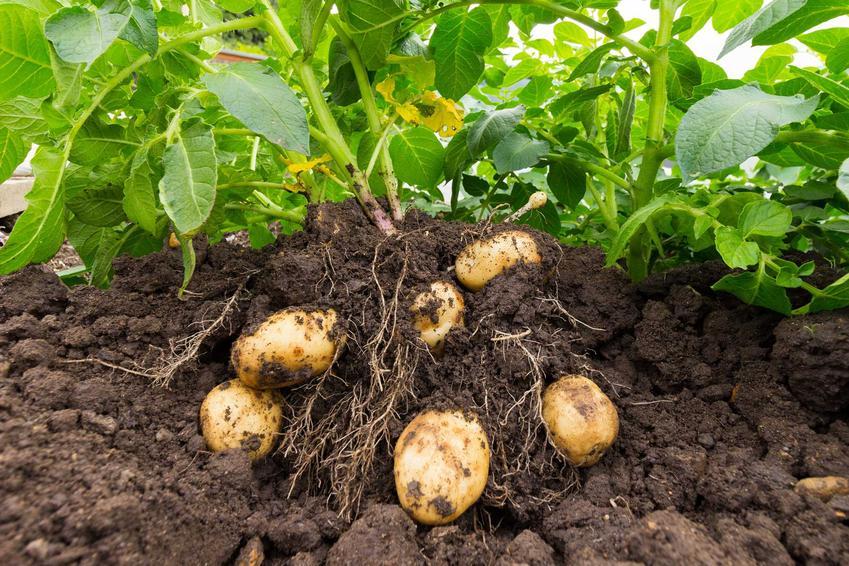 Ziemniaki mączyste w ziemi w czasie zbioru, a także odmiany mączyste, uprawa, zastosowanie, porady i pielęgnacja w ogrodzie