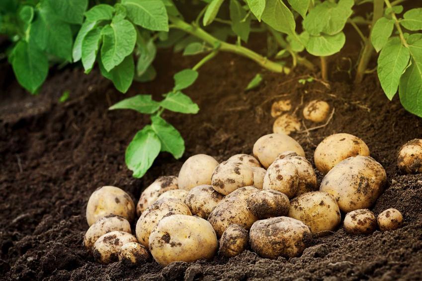 Ziemniaki Jelly w ogrodzie pod krzewem ziemniaków w czasie zbiorów, a także informacje o ziemniakach Jelly, czyli uprawa, zastosowanie i opis