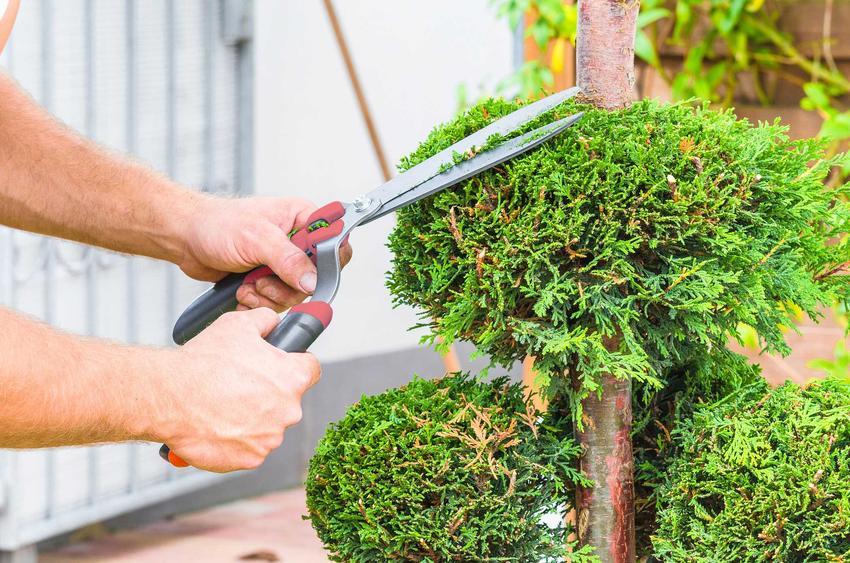 Przycinanie starych tui, a także jak formować tuje w różne kształty krok po kroku - porady dla ogrodników, terminy
