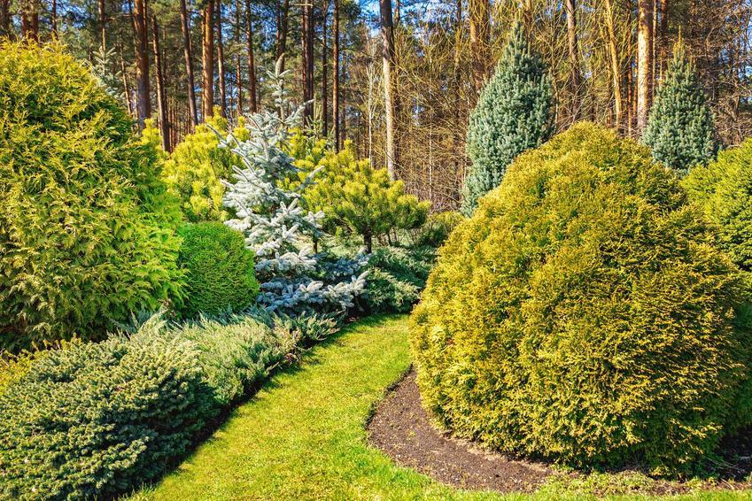 Tuje ozdobne w ogrodzie przycięte w kulisty kształt, a także odmiany ozdobne, uprawa, pielęgnacja i porady