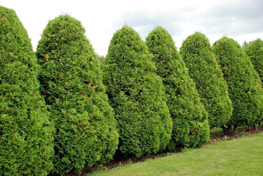 Tuje ozdobne w kształcie stożków w ogrodzie, a także odmiana, uprawa, pielęgnacja oraz porady