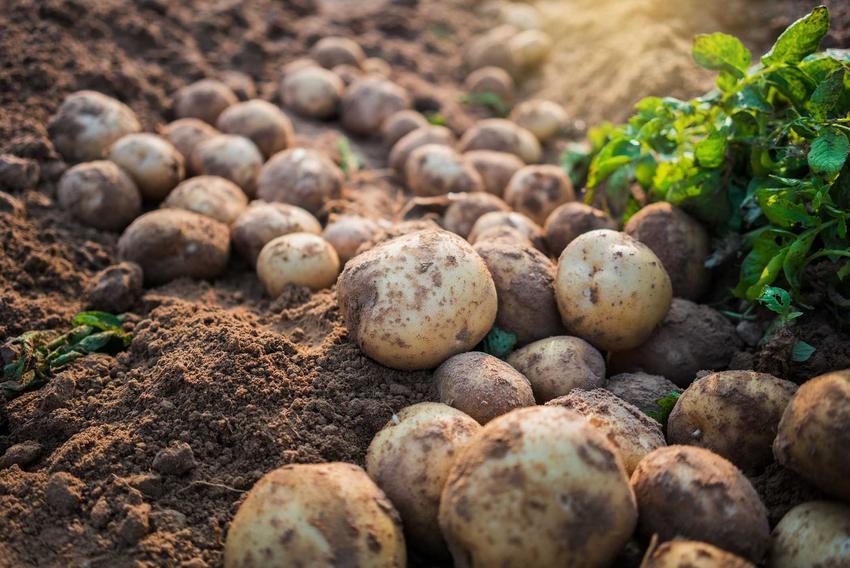 Ziemniaki Tajfun leżące na ziemi, a także informacje o odmianie: wymagania, opis, uprawa oraz porady krok po kroku