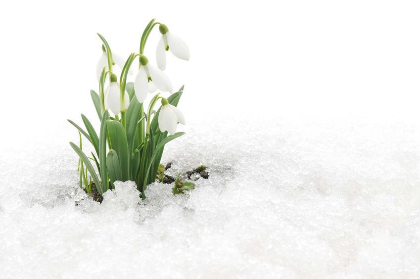 Przebiśniegi w ogrodzie wyrastające spod śniegu, a także inne rośliny, które są pod ochroną w Polsce, a także opis i nazwy