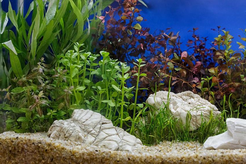 Akwarium roślinne z roślinami i kamieniami, a także wymagania, rośliny, zastosowanie, wykonanie i jak zrobić akwarium roślinne