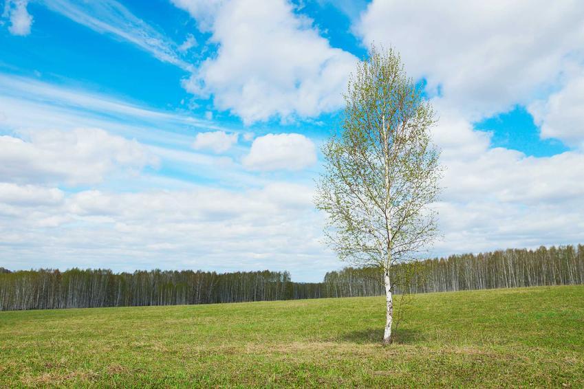 Brzoza papierowa rosnąca na wzgórzu, a także informacje, takie jak uprawa, pielęgnacja, charakterystyka, odmiany i sadzonki