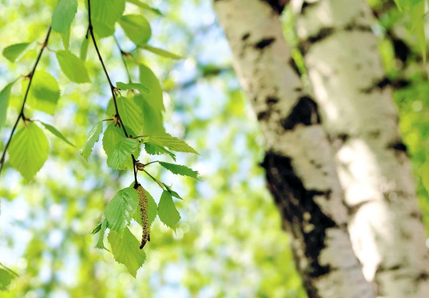 Brzoza papierowa na tle liści brzozy, a także informacje o gatunku: odmiany, charakterystyka, pielęgnacja i uprawa