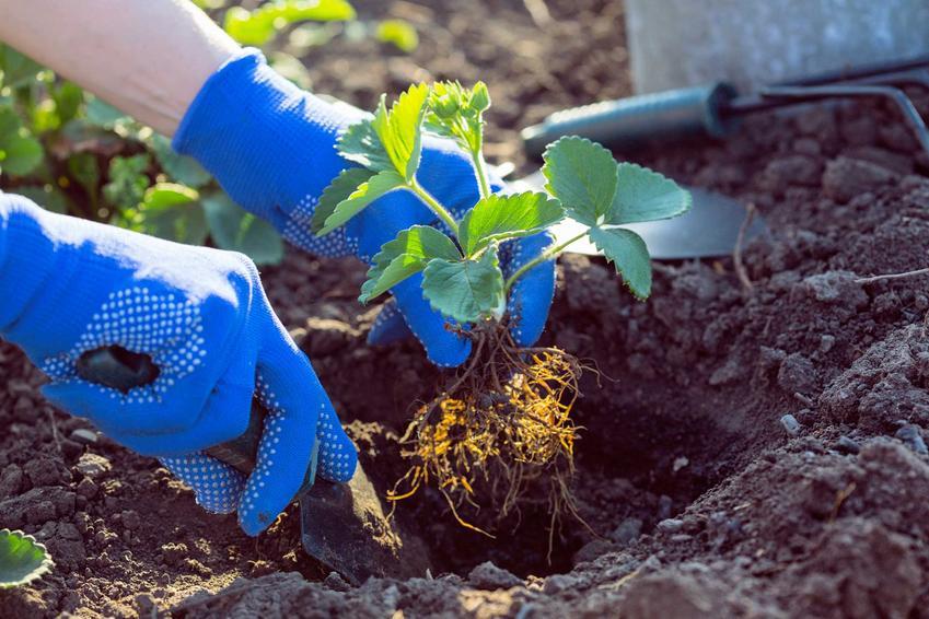 Sadzenie truskawek w ogrodzie na grządce, a także informacje o tym, kiedy sadzić truskawki i metody sadzenia sadzonek w podłożu.