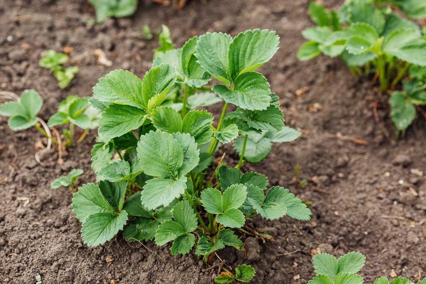 Sadzonka truskawek w ogrodzie na grządce, a także informacje o tym, kiedy sadzić truskawki krok po kroku, zastosowanie i najlepsze sposoby