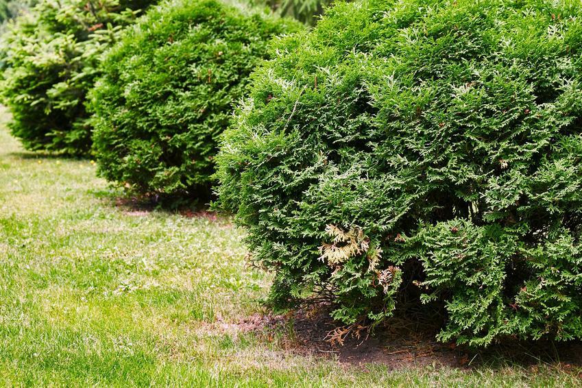 Zielone pędy i igły tui Kórnik, a także sadzenie rośliny, opis odmiany, wymagania, pielęgnacja i zastosowanie