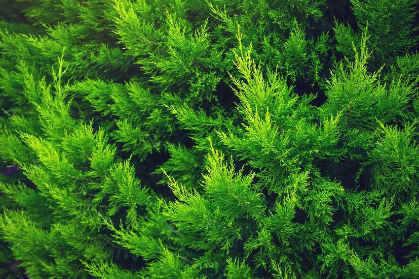Zielone liście tui Krónik rosnącej w ogrodzie, a także sadzenie, wymagania, pielęgnacja oraz opis odmiany