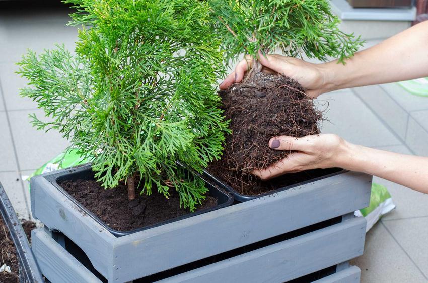 Sadzenie tui w doniczce, a także informacje, co ile sadzić tuje oraz jakie odstępy zrobić i sadzenie tui krok po kroku
