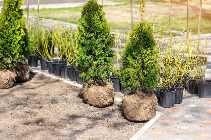 Sadzonki tui do zasadzenia w ogrodzie, a także informacje, co ile sadzić tuje krok po kroku, najlepsze odstępy oraz sadzenie