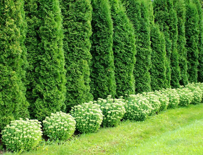 Tuje kolumnowe w ogrodzie przy płocie w zielonym kolorze, a także odmiany, pielęgnacja, nawożenie oraz przycy=inanie