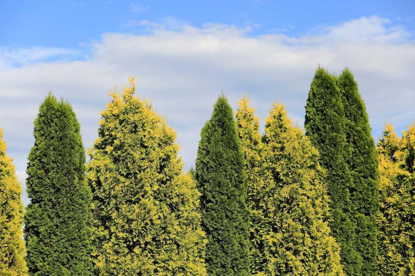 Ciemnozielone i zielolożółte tuje kolumnowe w ogrodzie przy płocie, a także informacje o roślinach: pielęgnacja, przycinanie oraz nawożenie