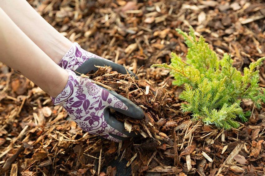 Kobiece dłonie w rękawiczkach podsypujące tuje korą drzewną, a także jaka kora pod tuje jest najlepsza do roślin iglastych