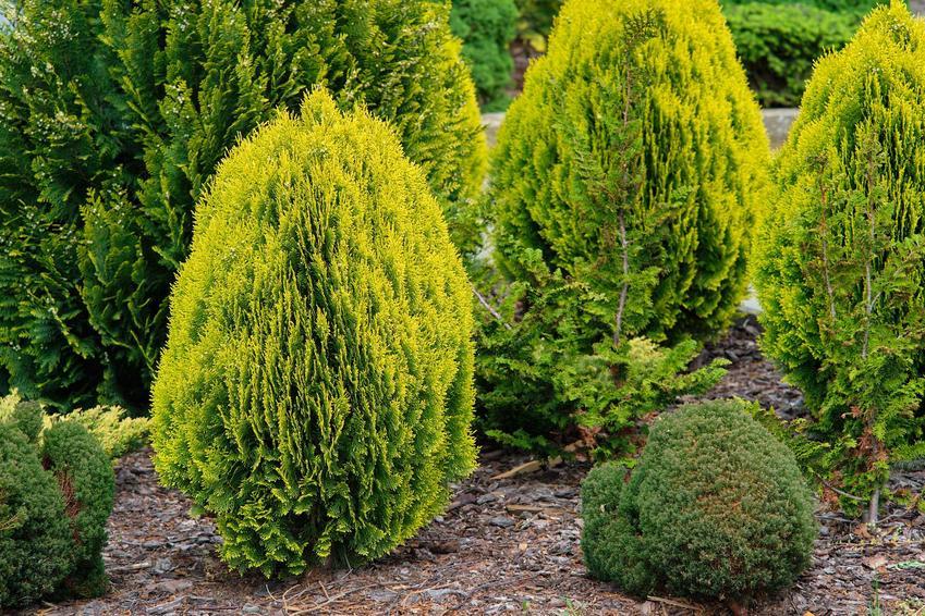 Tuje na dużej rabacie rosnące na podłożu wokół kory drzewnej, a także najlepsza kora pod tuje krok po kroku