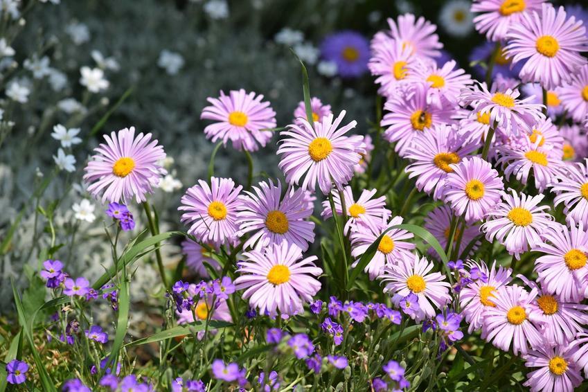 Aster, czyli inaczej marcinek w jesiennym ogrodzie, a także 12 wyjątkowych kwiatów ogrodowych wieloletnich i bylin