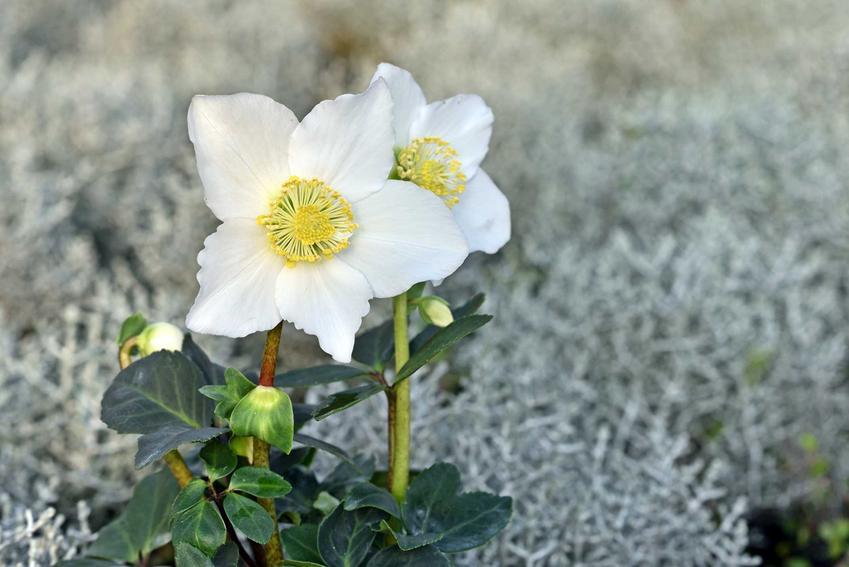 Ciemiernik biały o delikatnych kwiatach i zimozielonych liściach, a także 12 wyjątkowych kwiatów ogrodowych wieloletnich krok po kroku