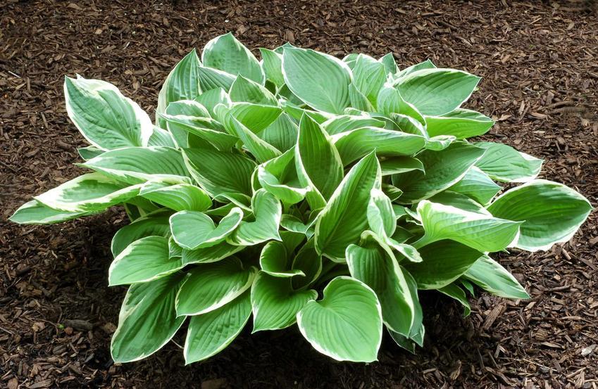 Funkia, czyli hosta, roślina o zielonych liściach i pięknym pokroju, a także 12 wyjątkowych kwiatów wieloletnich i bylin do ogrodu