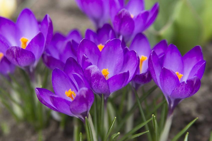 Fioletowe krokusy, czyli jedne z pierwszych kwiatów wiosennych w ogrodzie, a także inne 12 wyjątkowych ogrodowych wieloletnich kwiatów i bylin
