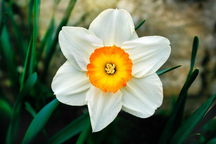 Narcyz o białym kwiatku w wiosennym ogrodzie, a także 12 wyjątkowych kwiatów ogrodowych wieloletnich krok po kroku