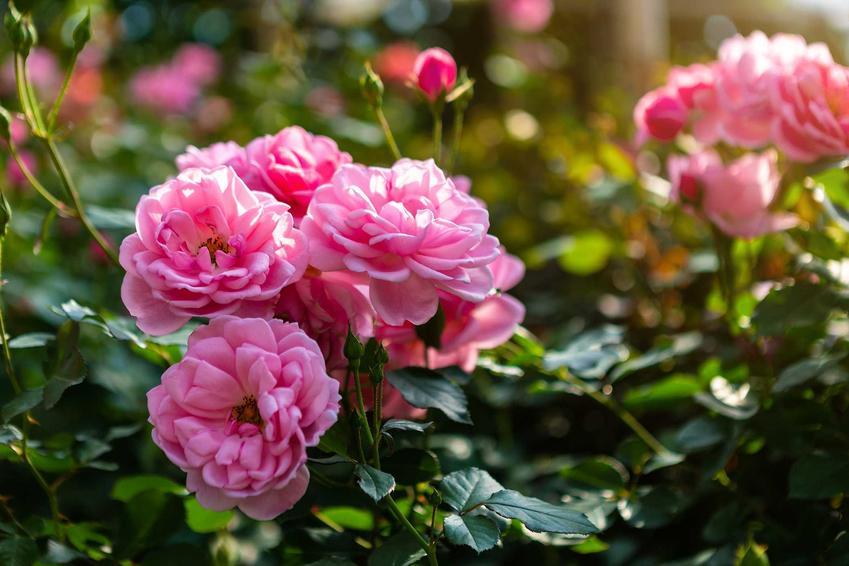 Róże bukietowe o różowych kwiatach rosnące w ogrodzie, a także inne 12 wyjątkowych kwiatów ogrodowych wieloletnich