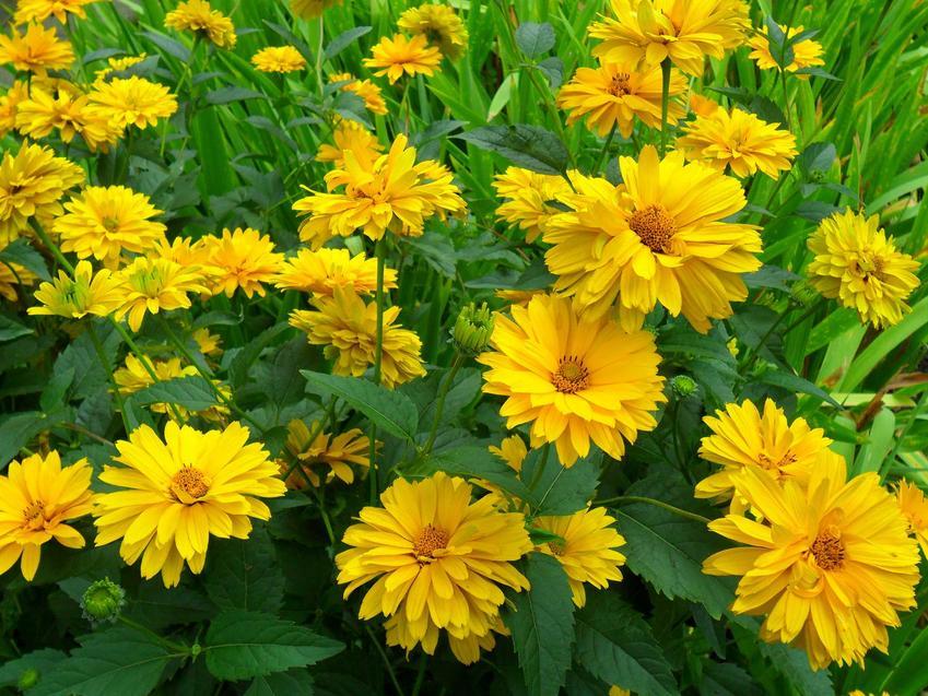 Słoneczniczek w nasłonecznionym, jasnym ogrodzie, a także 12 wyjątkowych kwiatów ogrodowych wieloletnich
