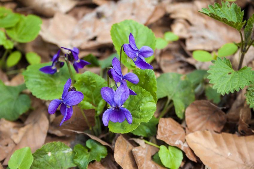 Fiołek wonny kwitnący w lesie, a także 8 najbardziej wyczekiwanych roślin wiosennych, opisy i gatunki