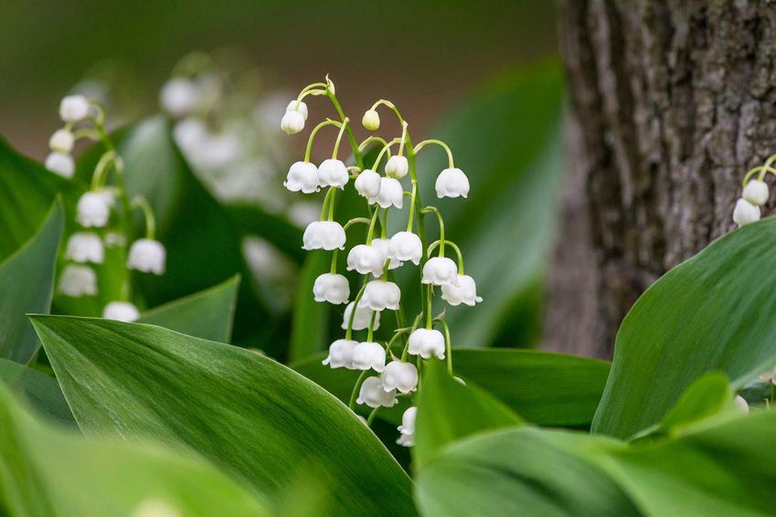 Konwalia majowa kwitnąca w lesie, a także 8 najbardziej wyczekiwanych roślin wiosennych, opisy i najważniejsze informacje