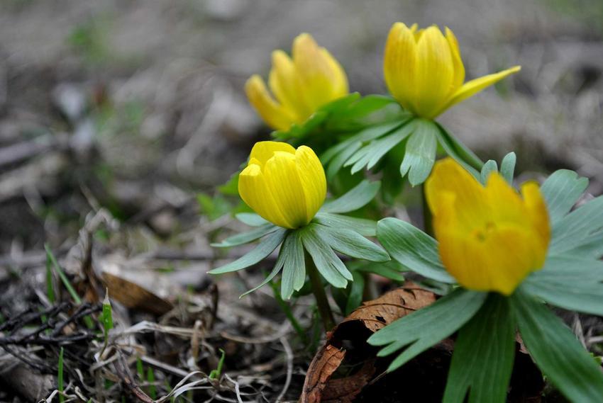 Rannik zimowy o żółtych kwiatach, a także TOP8 najbardziej wyczekiwanych roślin wiosennych w Polsce