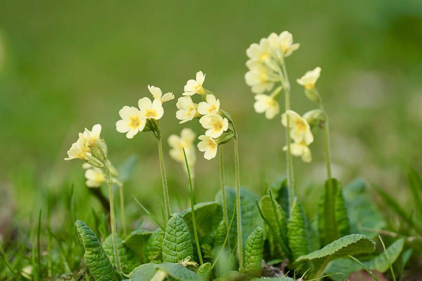 Pierwiosnek o żółtych kwiatach, a także 8 najbardziej wyczekiwanych roślin kwitnących wiosną
