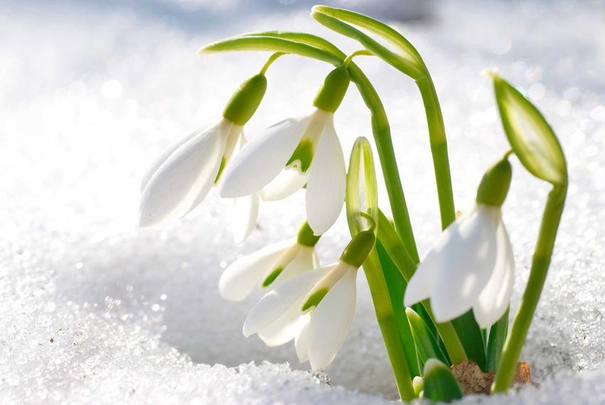 Śnieżyczka przebiśnieg na tle śniegu, a także informacje o roślinie i 8 najbardziej wyczekiwanych roślin wiosennych