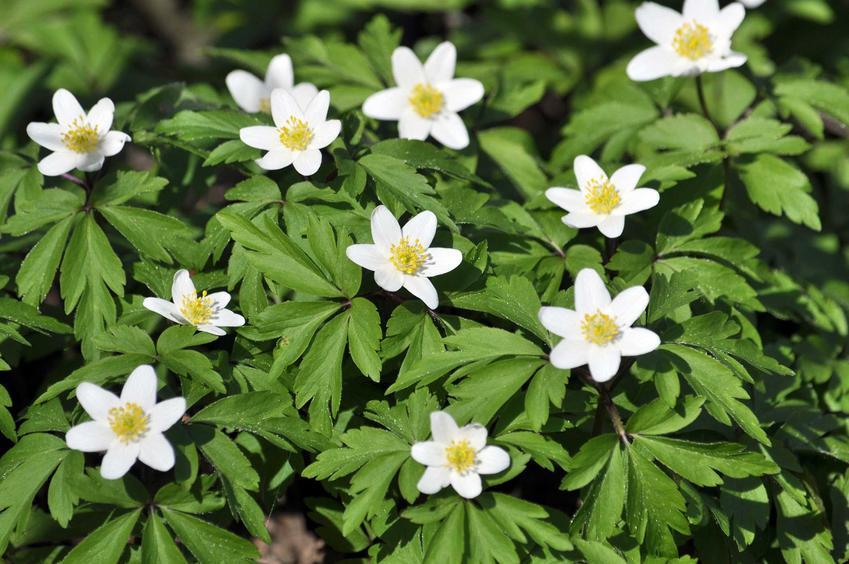 Zawilec gajowy w lesie, a także 8 najbardziej wyczekiwanych roślin wiosennych, ich opisy i gatunki