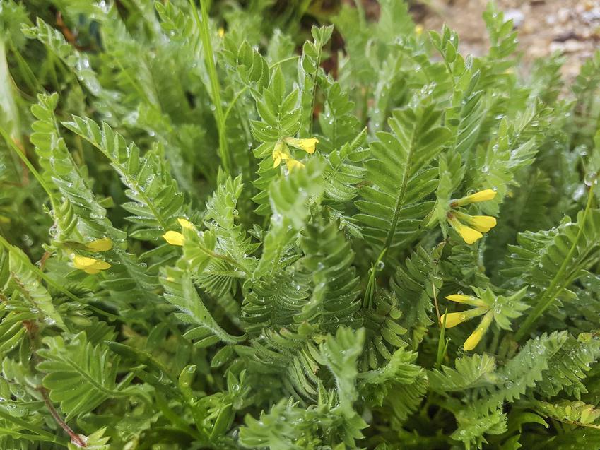 Kępa seradeli w ogrodzie, a także opis, wymagania, uprawa, pielęgnacja oraz zastosowanie