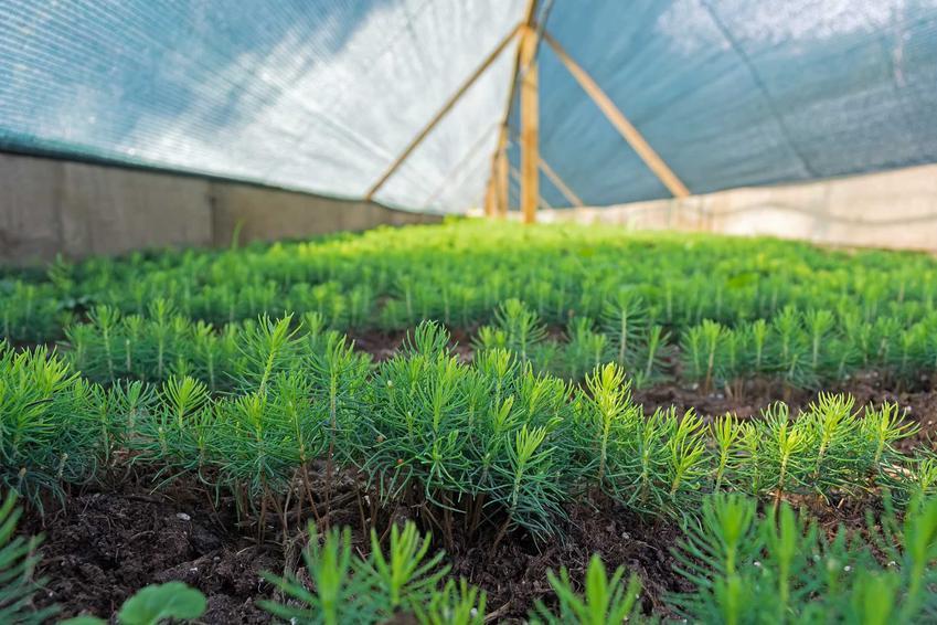 Szkółka iglaków z małymi roślinami, a także informacje o szkółkach drzewek i krzewów ozdobnych krok po kroku, ceny, sadzonki