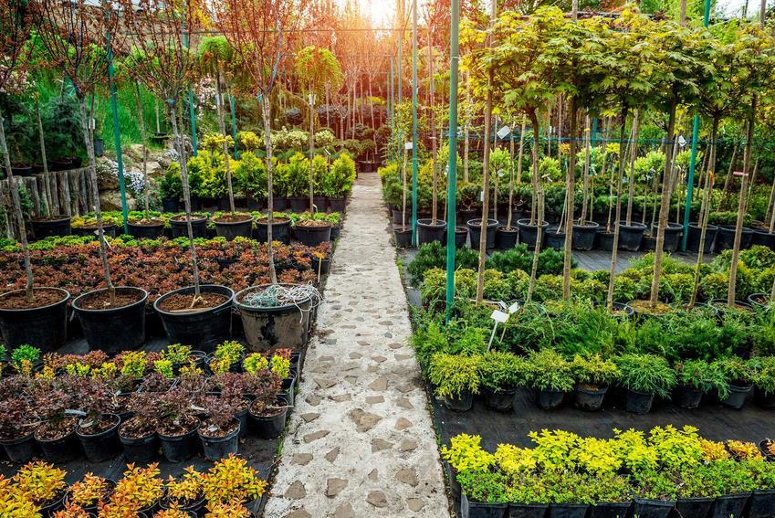 Szkółka drzewek i krzewów ozdobnych sprzedawanych w pojemnikach, a także gdzie kupować sadzonki, ceny i najważniejsze informacje