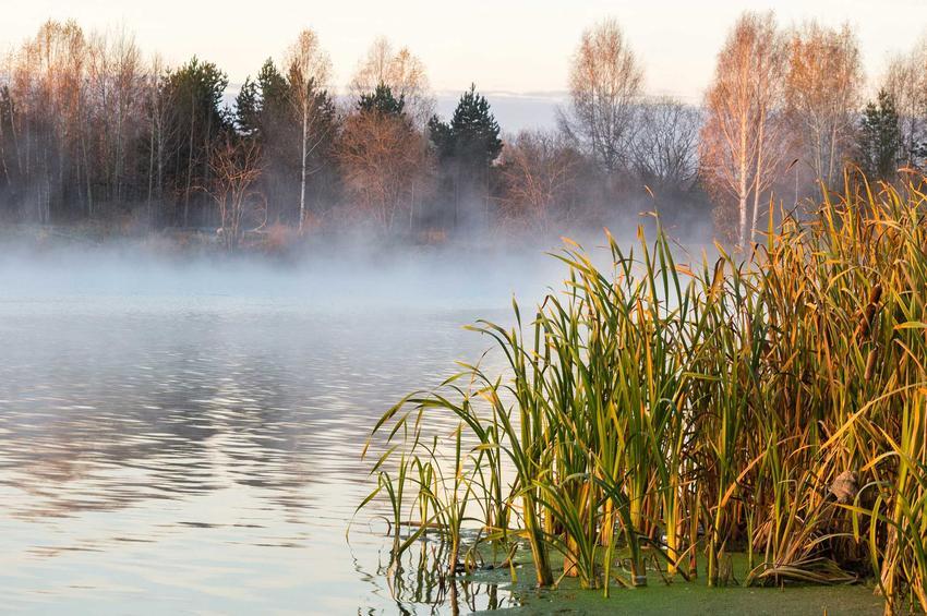 Kępa sitowia rosnąca na brzegu jeziora, a także informacje, występowanie, wymagania, pielęgnacja i uprawa