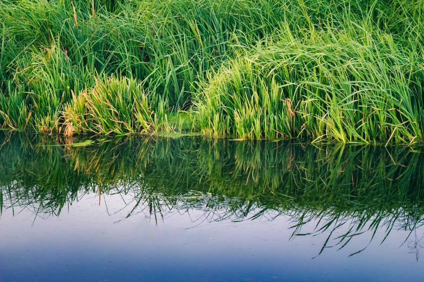 Sitowie rosnące nad brzegiem stawu lub jeziora, a także informacje o roślinie - występowanie, wymagania, rodzaje, uprawa i pielęgnacja