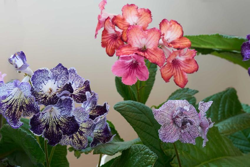 Trzy krętniki w różowym i fioletowym kolorze, a także informacje o skrętniku: opis, wymagania, uprawa oraz porady krok po kroku
